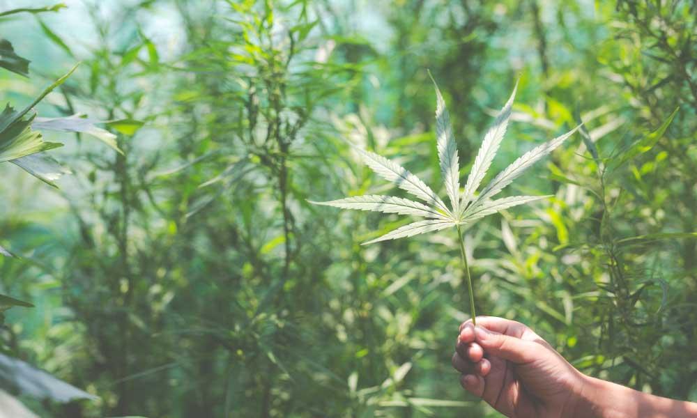 mano sostiene hoja de cannabis en plantación